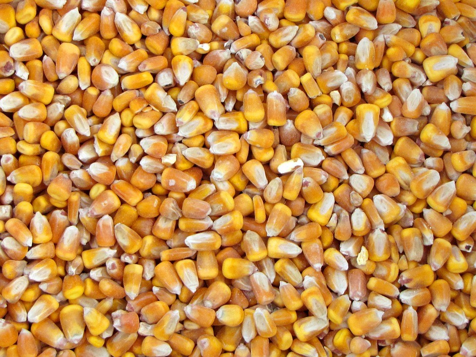 USA Yellow Corn/Maize/Animal Feed Premium Quality