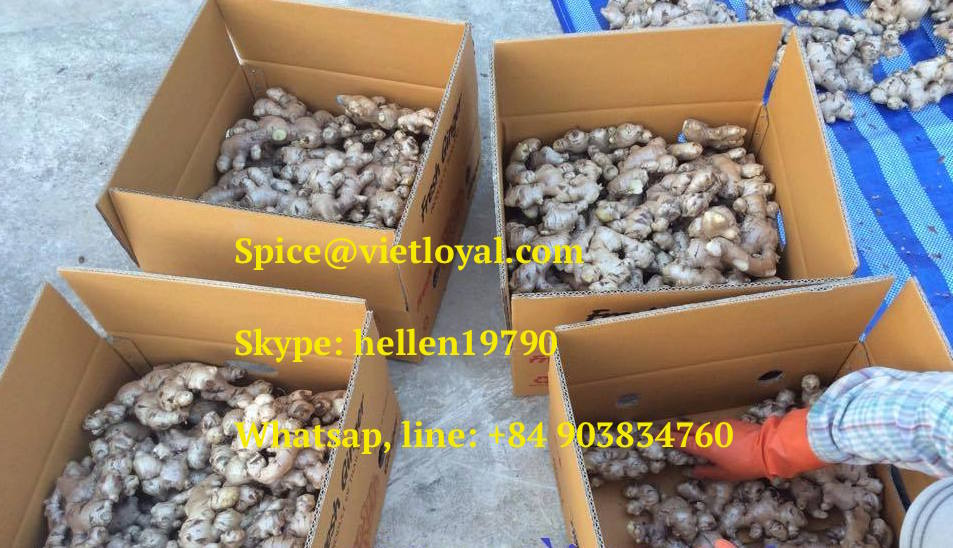 New crop Vietnam fresh ginger from professional factory