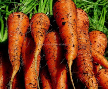 2017 New Crop Fresh Indian Carrots in wholesale price