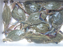 Frozen Blue Swimming Crabs