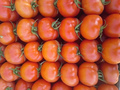 High quality direct sale tomato FROM EGYPT 2016