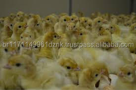 DAY OLD TURKEY POULTS /HIGH QUALITY TURKEY CHICKS FOR SALE