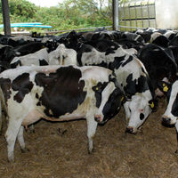 Healthy Live Dairy Cows And Pregnant