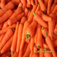 hot sale fresh carrots in good taste