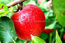 H_royal gala top best green red whole sale fresh apple from Vietnam