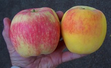 Polish fresh golden delicious apple best price