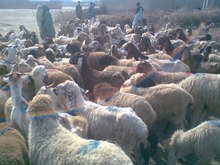 Live Awassi sheep For Sale