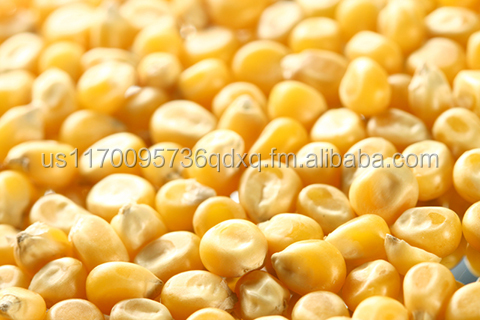 Yellow Maize (Human Consumption)
