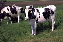 Live Dairy Cows and Friesian Holstein Cow for Sale