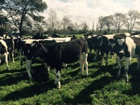 Live Breeding Cattle Dairy & Beef