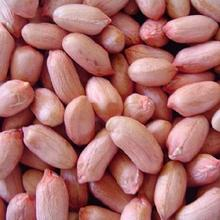 Raw Bold & Java Peanuts for Manufacturing Peanut Butter - Indian origin