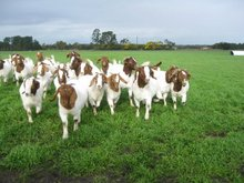 Cheap LiveStock Sheep ,Goats & Cows
