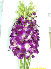 Sonia Dendrobium Fresh Orchid Cut Flower from Thailand