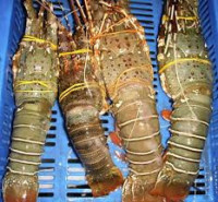 FRESH FROZEN LOBSTER