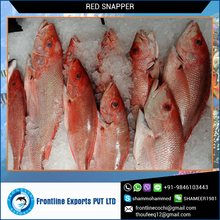 Frozen Red Snapper Whole Round at Lowest Price