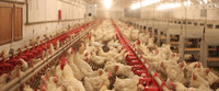 Probiotic solution for profitable Poultry Production