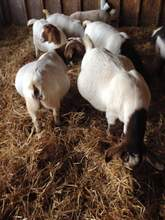 Live Boer Goat and Sheep Best Price