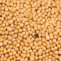 High quality White mustard seed for sale best price