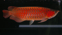 Malaysian red Arowana available at moderate price