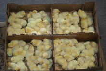 BROILER DAY OLD CHICKS,Broiler chicks of one day old,DAY OLD COBB BROILER CHICKS & ALL POULTRY
