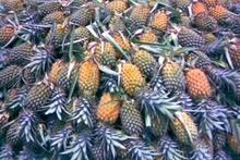 Fresh PINEAPPLE Thailand