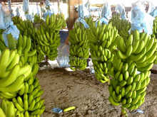 Best Quality Cavendish Banana For Sale