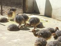 Healthy Ostrich chicks and 100% fertile ostrich eggs