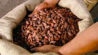 2016 Cacao bean / cocoa (Organic certified)