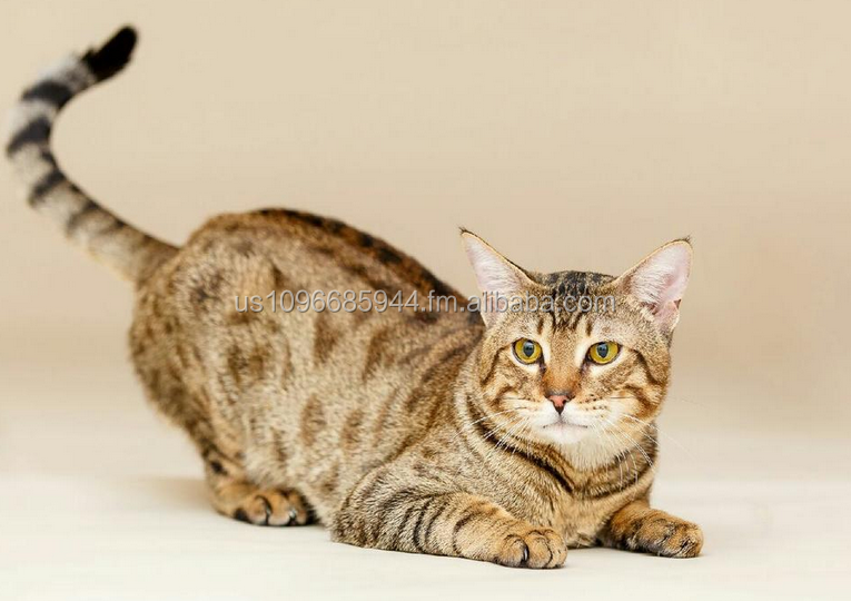 Savannah and Bengal Kittens Available