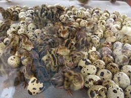 Fertile Hatching Quail Eggs