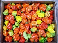 Fresh Green Chilli Pepper / Red Fresh Chilli Pepper Chilli Pepper Paprika Red Chili Powder