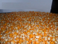 Cheap Yellow Corn maize for Animal Feed crop 2015