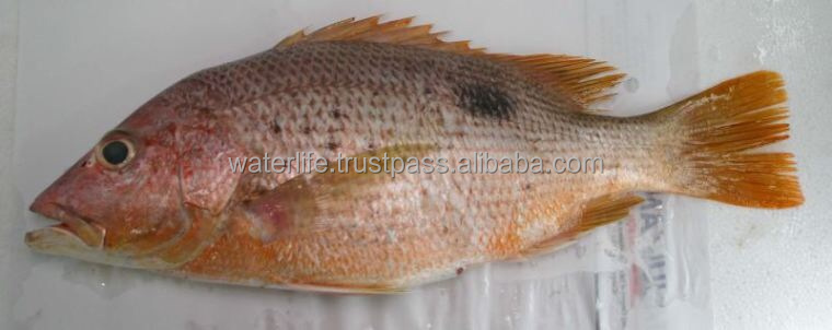 Good Quality Frozen Seafood, Fresh Seafood, Frozen Whole Fish