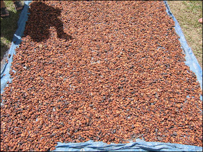 !!Bulk supply cocoa bean extract manufacturer