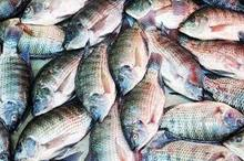 FROZEN BLACK AND RED TILAPIA WHOLE ROUND/ FISH, SEAFOOD