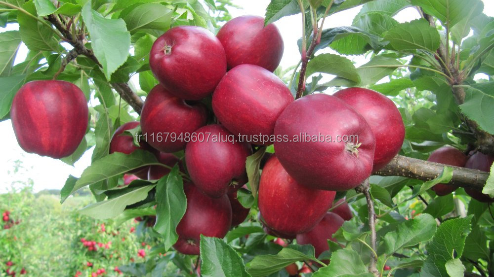 Apple fruit for sale international standard
