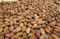 Cocoa Beans - Trinitario - Raw, Roasted Cacao Bean - Contact Us for Free Samples