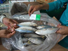 Indian Mackerel To Indonesia