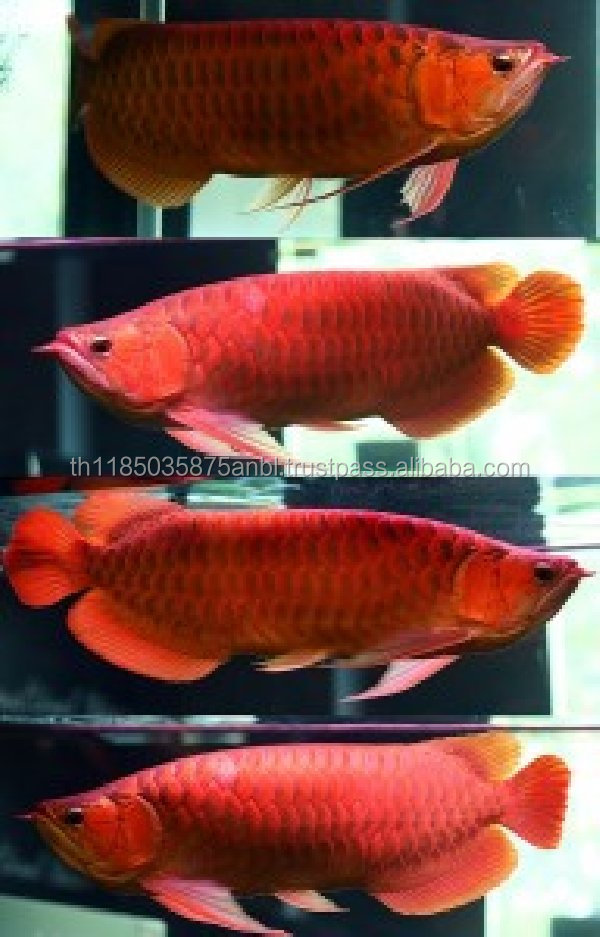 GOOD PRICE CHILI RED AROWANA FISHES AND OTHERS