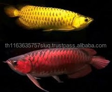 Red Tail Gold Arowana Fish for Sale