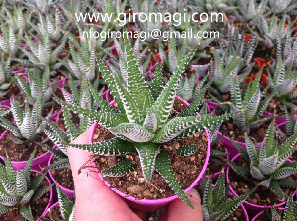 cacti and succulent plants from italy haworthia wide zebra