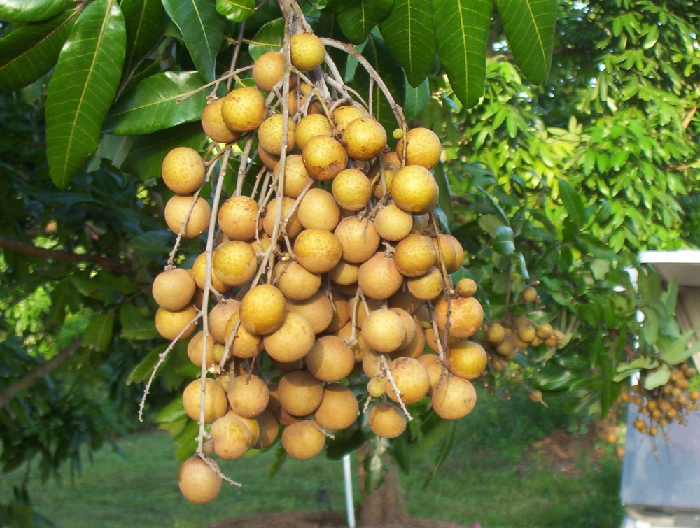Fresh longan with best quality for sales and export