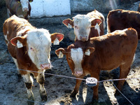 Beneficial Live bacteria for good intestinal health for Beef Cattles