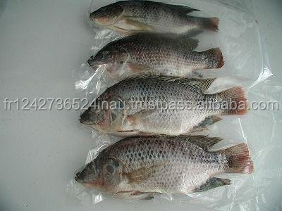 Sea Food Frozen Black Tilapia Fish,Frozen Block Anchovy Fish forsale at a low rate