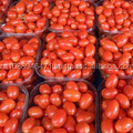 GRADE A Fresh Red Farm Harvested Tomatoes FOR SALE