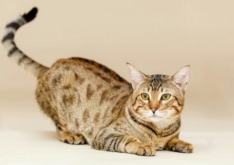 Amazing Savannah and Bengal Kittens Available