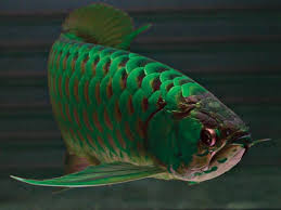 Green Asian Arowana Fish