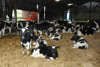 Dairy Cows and Pregnant Holstein Heifers for sale