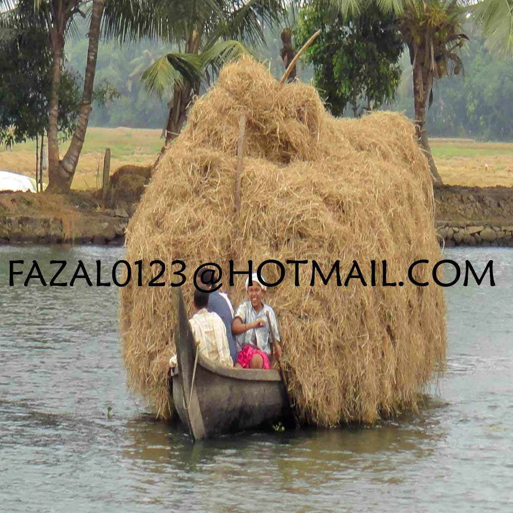 BANGLADESH HIGH QUALITY RICE STRAW / ALFALFA HAY FROM EXPORT TRADE ASSOCIATE WITH CHEAP PRICE