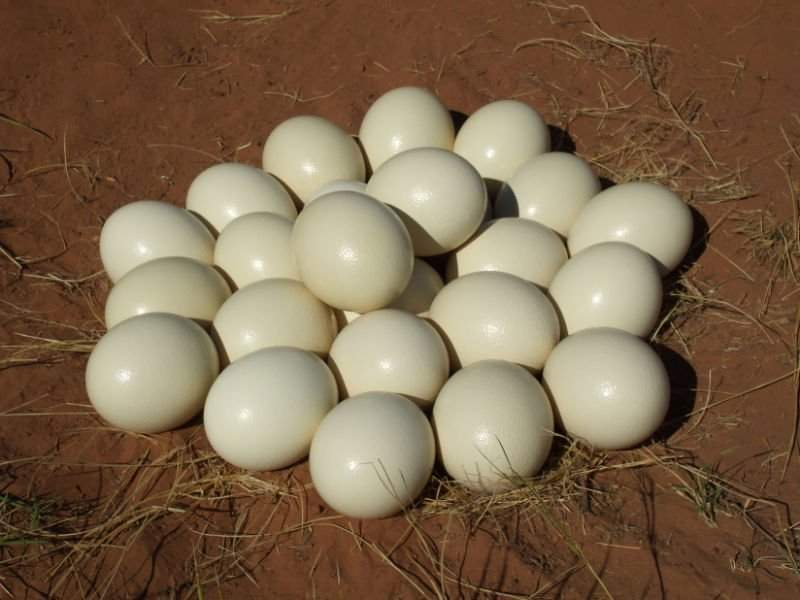 Fertile Ostrich Eggs and Chicks best quality